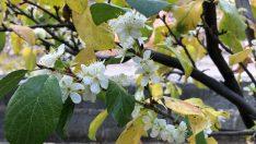 Bu mevsimde çiçek açan erik ağacı şaşırttı