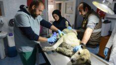 Belediye yaralı köpeğin tedavisini yaptı