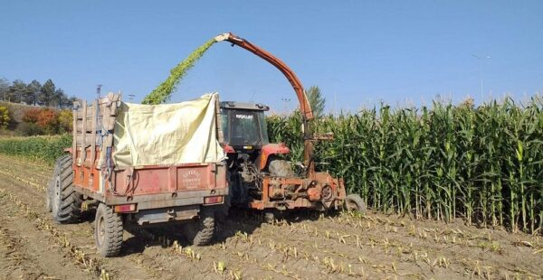 Silajlık mısır hasadına başlandı